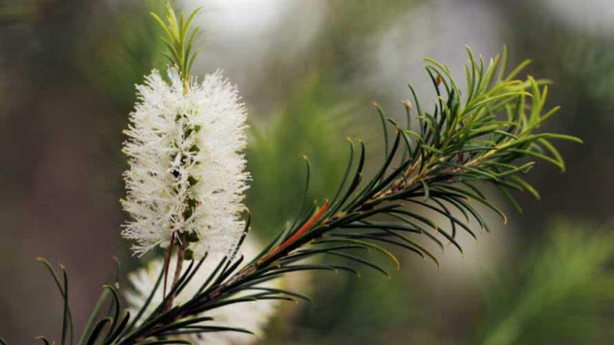 Biljka čajevac - Prirodni lek za masnu kosu